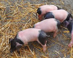 cochons - La Petite Ferme de Giles et Julie - Limoges