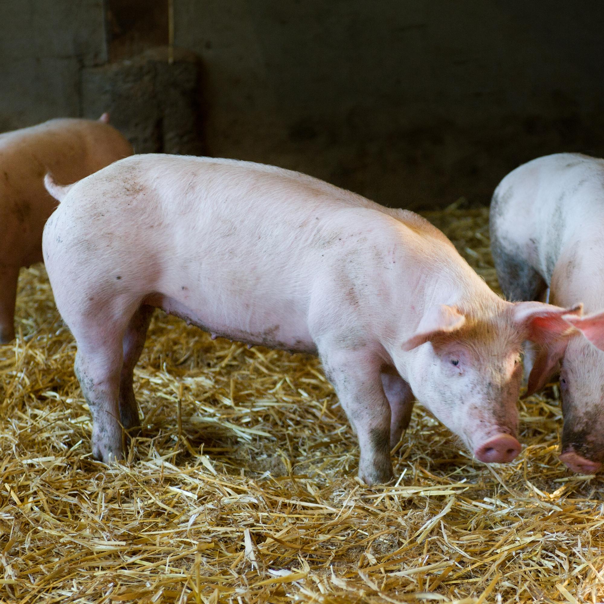 Vente de cochon rose fermier, au colis, 10€ / Kg
